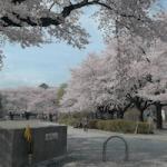 今年最後の桜撮影テスト 十王公園の桜が散り始めて綺麗