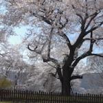 問題は色々あれど – Brushless Gimbal で桜を撮ってきたの
